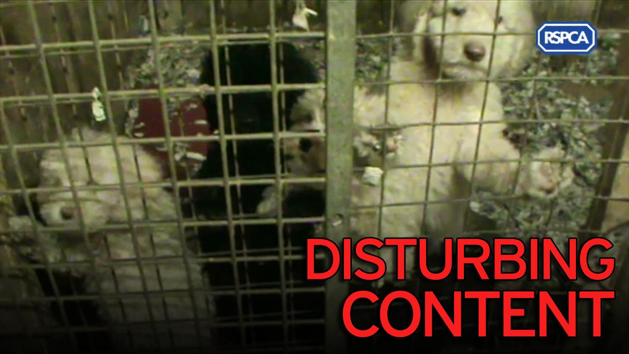 Puppy Dealers Kept Lethargic And Pot Bellied Dogs Covered In Fleas