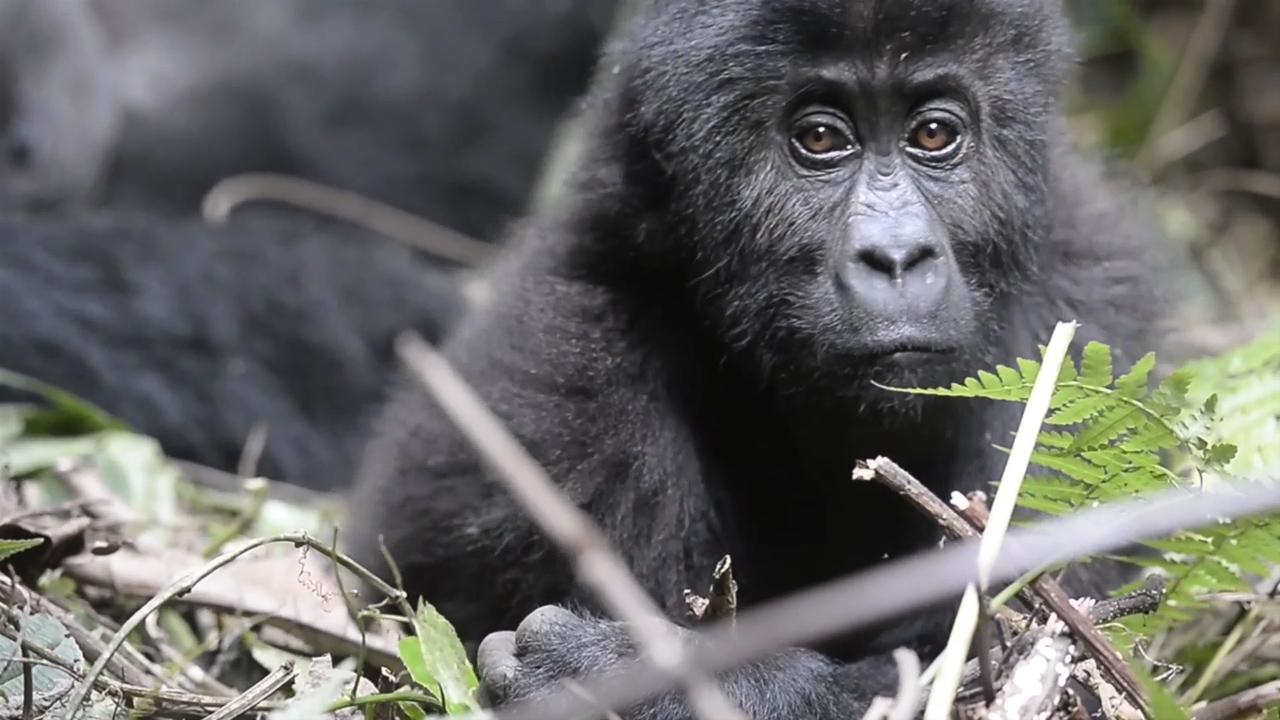 ca588e8a2 Gorillas massacred and driven to extinction - all for the sake of ...