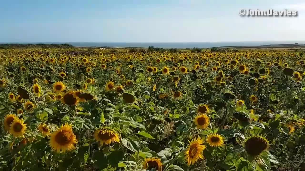 The Beautiful Field Of Sunflowers Which People Are Rushing To Take