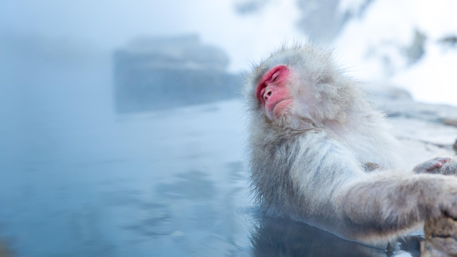 Scientists discover why Japanese snow monkeys like a long hot bath