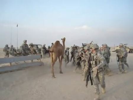 Camel Goes Ape on Soldiers